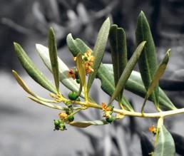 BioGourmet Epikouros Koronias Olivenöl nativ extra 1