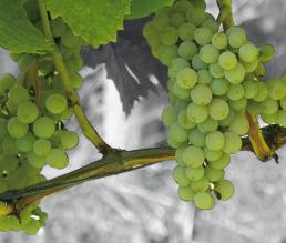 Muscaris Weißweintrauben